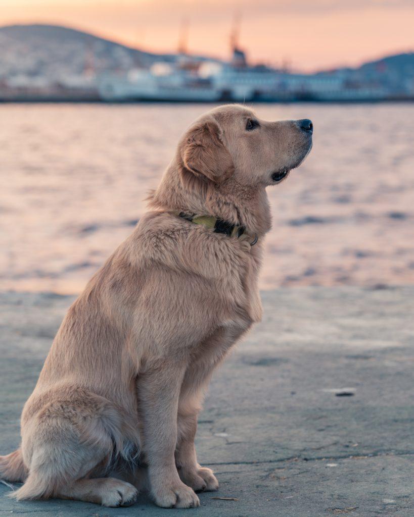 Labrador-au-bord-de-l-eau
